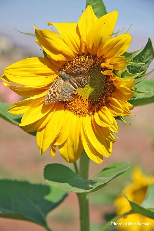 in طبیعت عکاس : نعمتی Sunflower butterfly