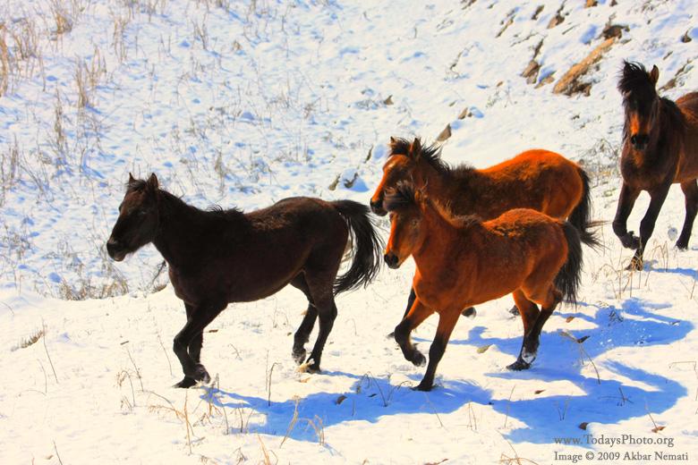 """in حیوانات عکاس : نعمتی """"Horses in the snow"""""""