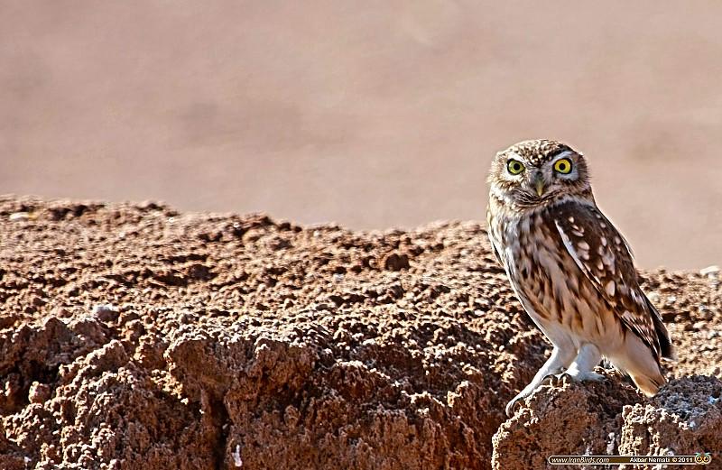 in حیوانات عکاس : نعمتی Little Owl - جغد کوچک
