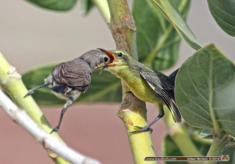 in حیوانات عکاس : نعمتی Purple Sunbird - شهدخوار