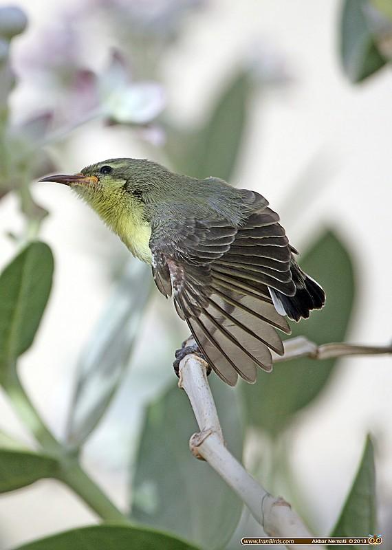in حیوانات عکاس : نعمتی Juvenile Purple Sunbird
