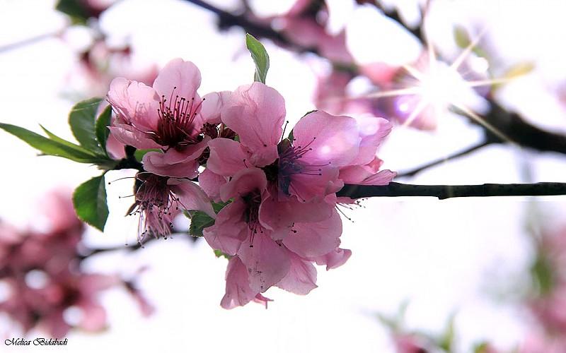 in طبیعت عکاس : melika bidabadi Blossoms