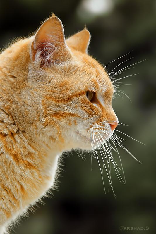 in حیوانات عکاس : farshad Cat Portrait