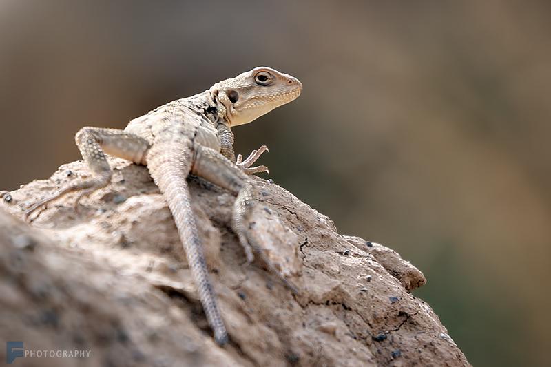 in حیوانات عکاس : farshad Lizard