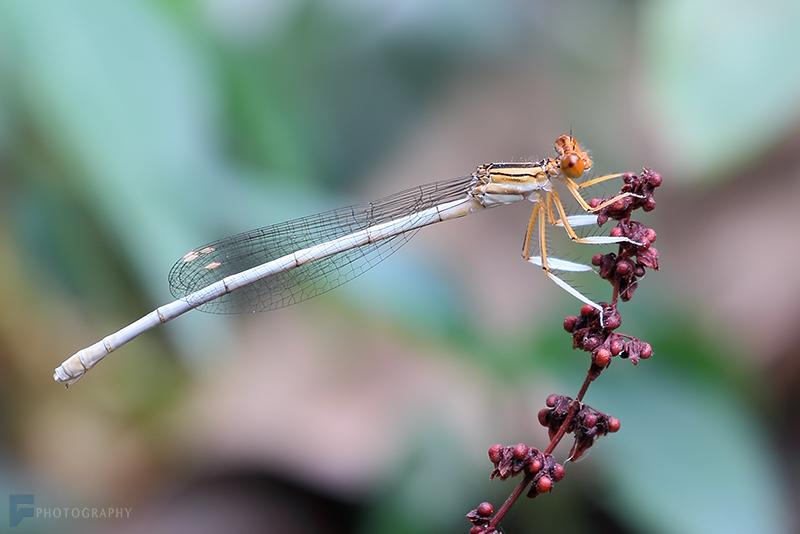 in حیوانات عکاس : farshad Dragonfly