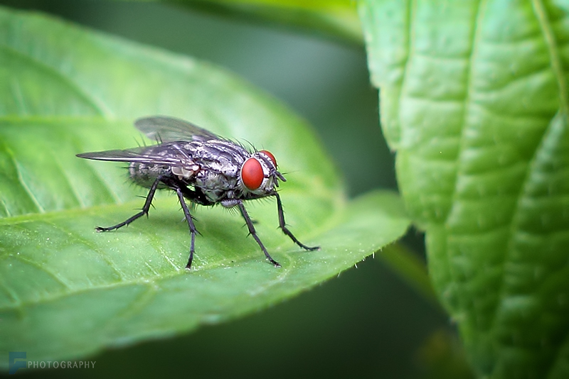in حیوانات عکاس : farshad Fly