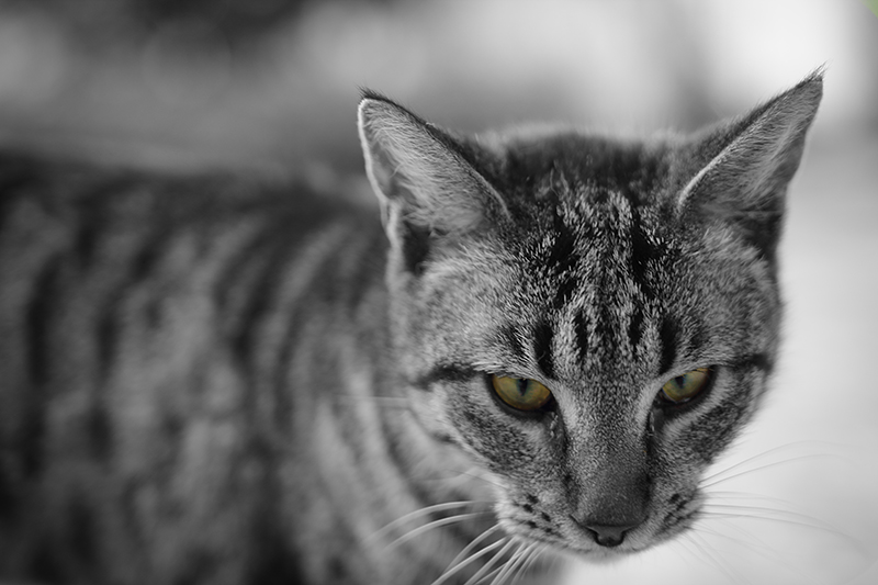 in حیوانات عکاس : farshad Black Cat
