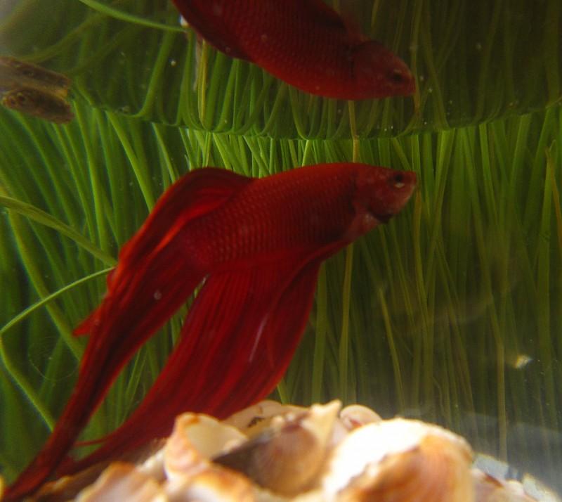 in حیوانات عکاس : shazde red fish