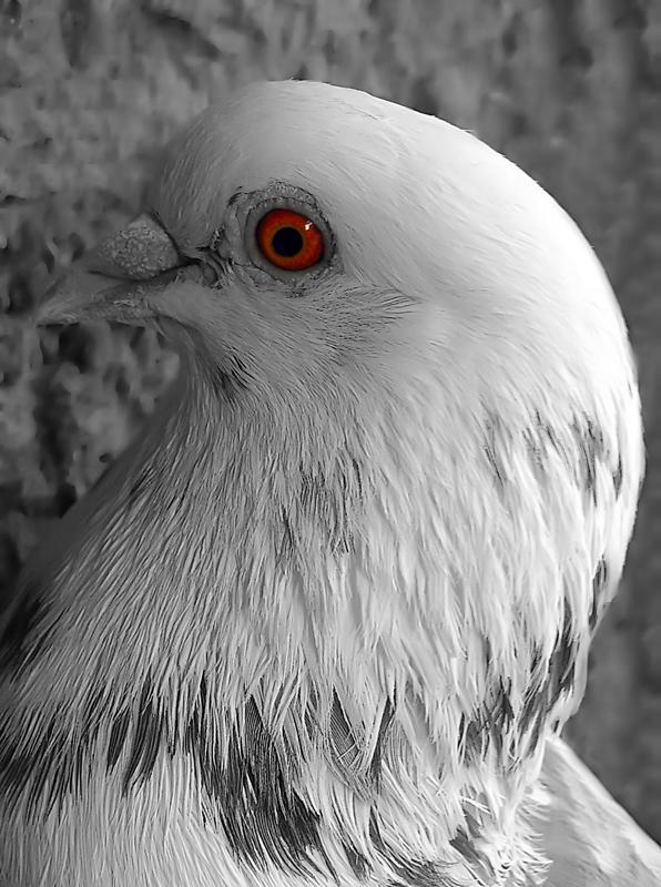 in حیوانات عکاس : sasan20oo20 کبوتر