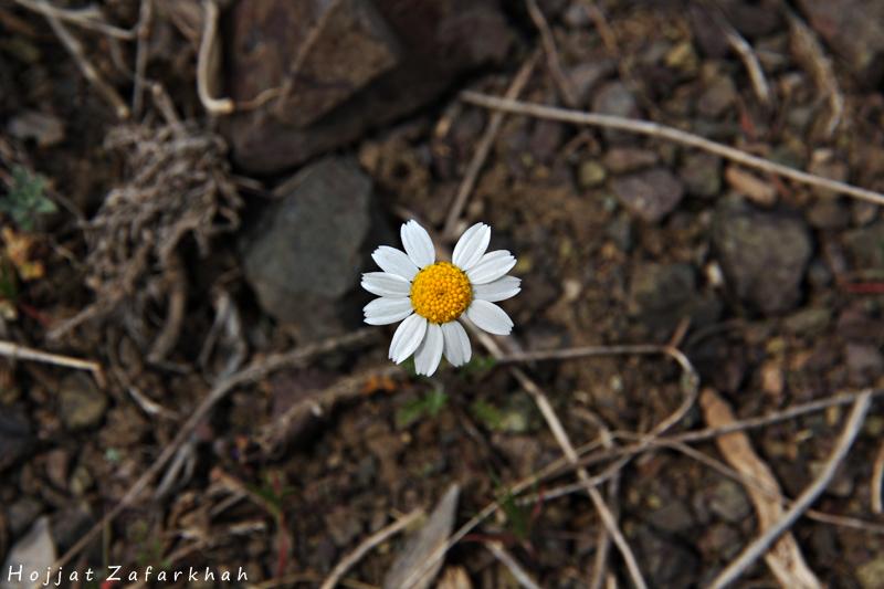 in طبیعت عکاس : Hojjat Zafarkhah گل تنها