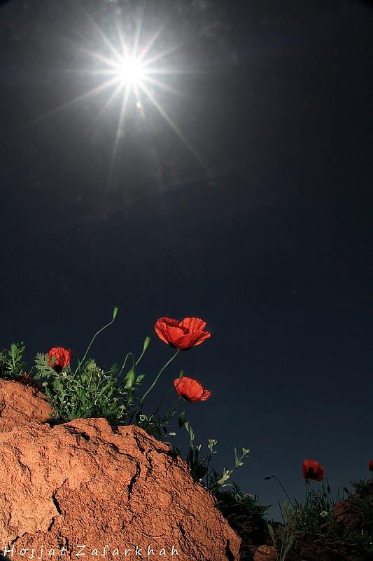 in طبیعت عکاس : Hojjat Zafarkhah لاله زیر نور آفتاب